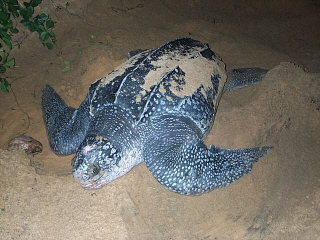 Guyane, tortue luth