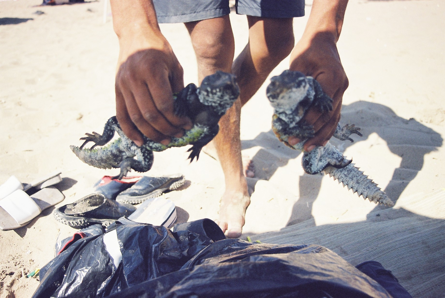 Maroc, lézards locaux